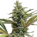 Green-house-seeds-super-lemon-haze-cbd-auto