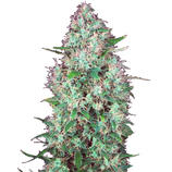 Serious-seeds-chronic-cbd