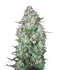 Serious seeds Chronic CBD