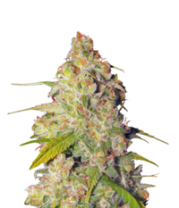 Dutch Passion Gagarin Haze
