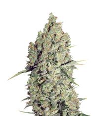 Serious seeds Chronic Reg