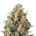 Pyramid-seeds-fresh-candy