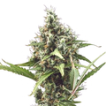 Pyramid-seeds-white-widow