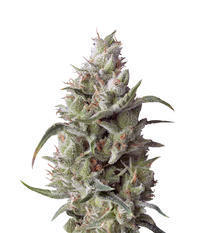 Pyramid Seeds Super OG kush