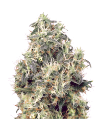 Green House Seeds Kaia Kush