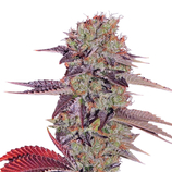 Green-house-seeds-king-s-kush-auto