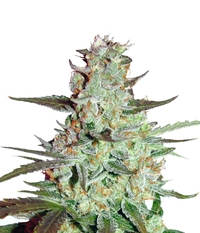 Dutch Passion Blue Auto Mazar