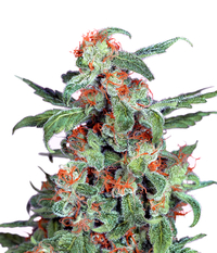 Dutch Passion Orange Bud Reg