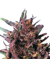 Dutch Passion Purple#1 Reg