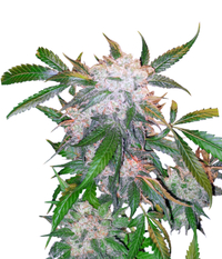 Dutch Passion White Widow Reg