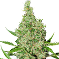 Dutch-passion-white-widow-x-the-ultimate