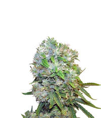 Sweet Seeds Cream 47