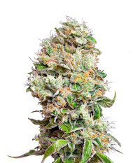 Green House Seeds King's Kush Auto CBD