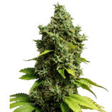Royal-queen-seeds-jack-herer-auto