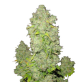 Female-seeds-pure-ak