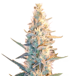 Female-seeds-outdoor-grapefruit