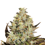 Delicious-seeds-deep-mandarine-cbd
