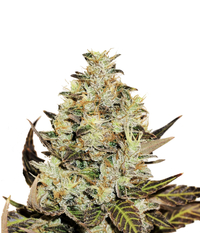 Delicious Seeds Deep Mandarine CBD