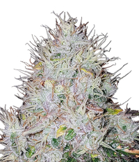 World of Seeds Afgan Kush x White Widow