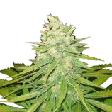 World-of-seeds-mazar-x-great-white-shark