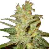 World-of-seeds-northern-light-x-skunk