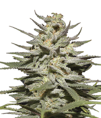 Green House Seeds Super Lemon Haze CBD
