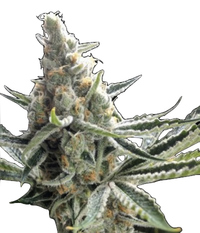 Crockett Family Farms Crocket´s Tangie