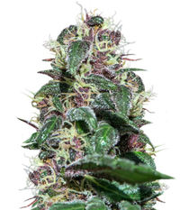 Barney's Farm Ayahuasca Purple