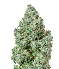 Humboldt Seeds Organization Blue Dream CBD