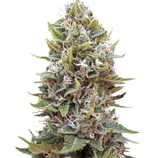 00seeds-auto-cheese-berry