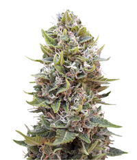 00seeds Auto Cheese Berry