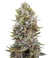 00seeds Cheese Berry