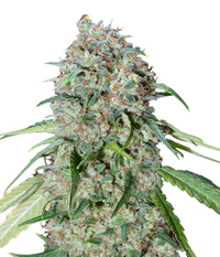 00seeds Chocolate Skunk CBD