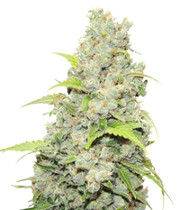 Medical Seeds Bcn Sour Diesel