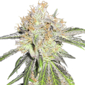 Medical-seeds-deep-neville