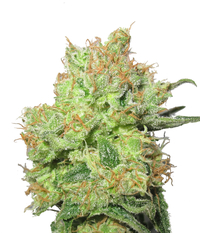 Medical Seeds Y Griega CBD
