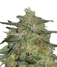 Royal Queen Seeds Royal Highness CBD