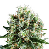 Royal-queen-seeds-critical-kush