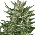 Royal-queen-seeds-easy-bud
