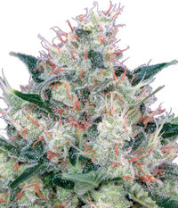 Royal Queen Seeds Honey Cream Fast Flowering