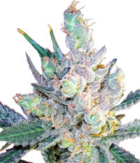 Royal Queen Seeds Royal Cheese Fast Flowering