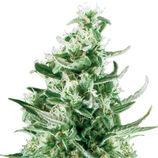 Royal-queen-seeds-royal-critical-automatic