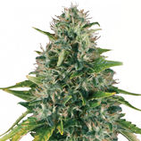 Royal-queen-seeds-royal-moby