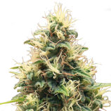 Royal-queen-seeds-somango-xl