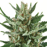 Royal-queen-seeds-speedy-chile-fast-flowering