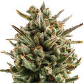 Royal-queen-seeds-amnesia-haze-automatic