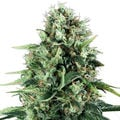 Royal-queen-seeds-power-flower