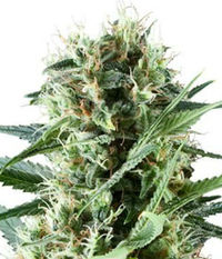 Royal Queen Seeds Special Kush #1