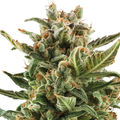 Royal-queen-seeds-white-widow-automatic