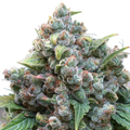 Dutch-passion-white-widow